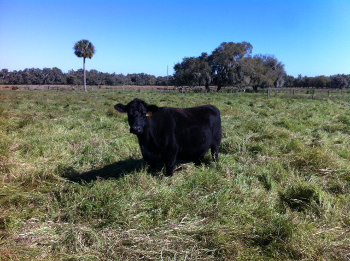 A black cow alone in a pasture