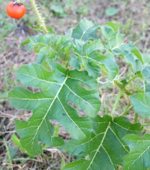Weed Identification - University of Florida, Institute of Food and